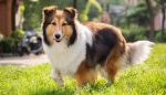photo of a Rough Collie dog about to run