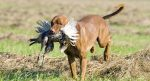 Hunting-Dog-feat-img