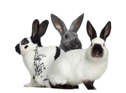 How Long Are Rabbits Pregnant