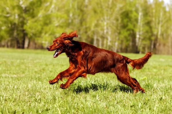 dog-Irish-setter