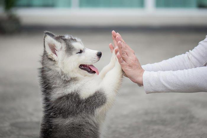 When Do Huskies Stop Growing The Best Answer For Pet Owner