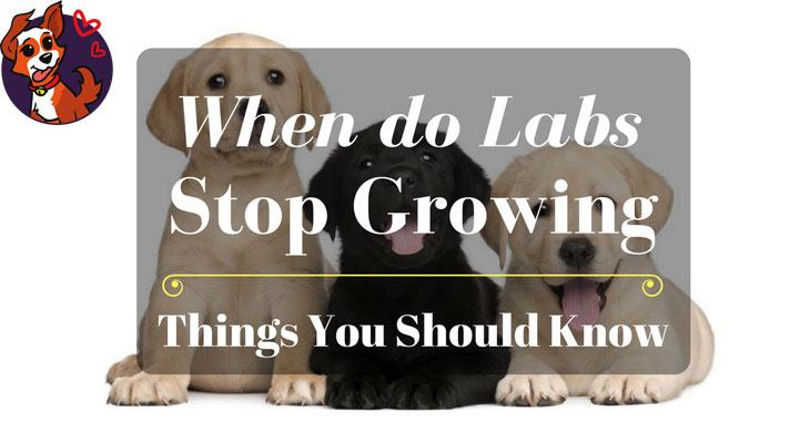 When Do Labs Stop Growing - Things You Should Know