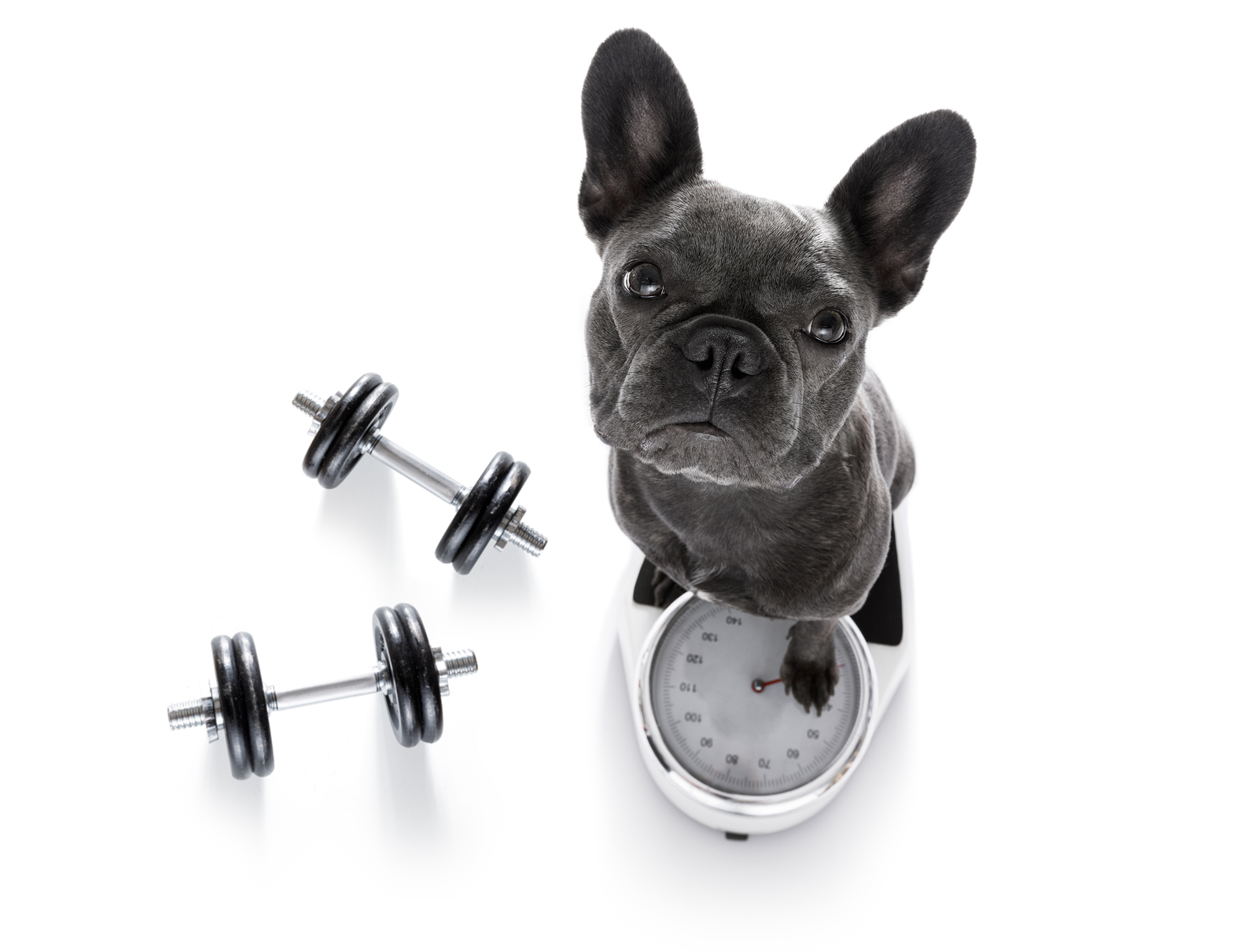 french bulldog dog with guilty conscience for overweight and to loose weight standing on a scale isolated on white background with dumbbells