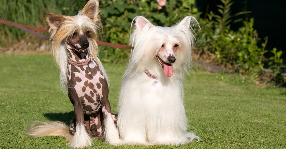two Chinese Crested sitting on the grass, left dog is slate spotted and the dog on the right is powder puff