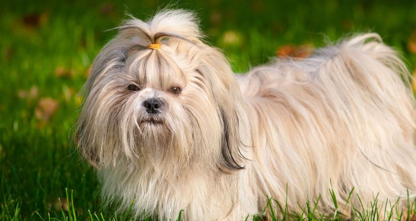 close-up photo of a Shih Tzu standing on the grass