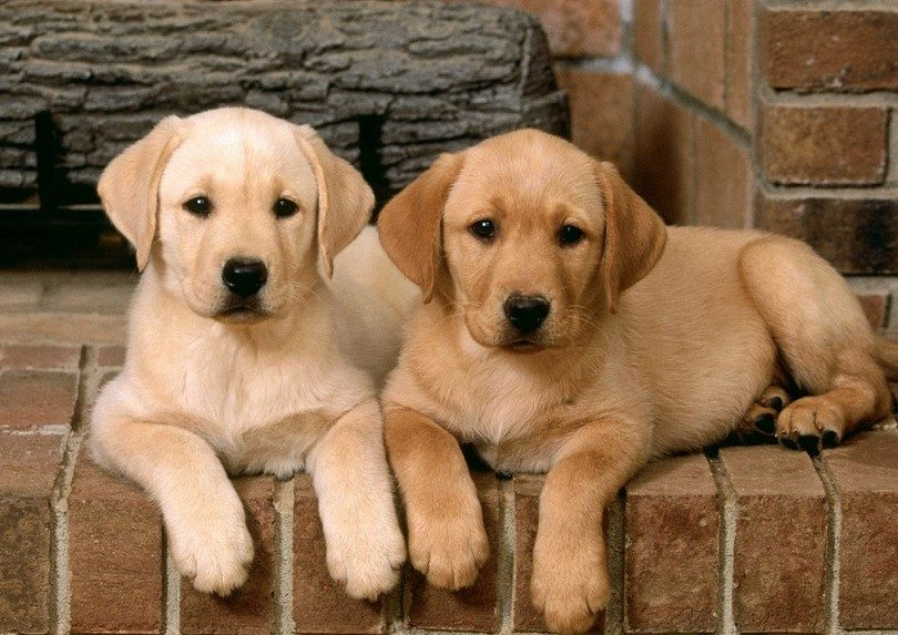 two Labrador puppies lying on the floor