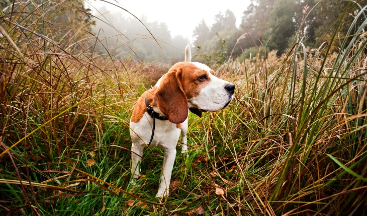 an alert beagle in the green field and ideal to get any sharp hunting dog names