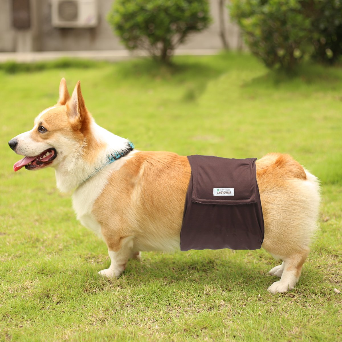 photo of a corgi wearing a dog diaper in its torso