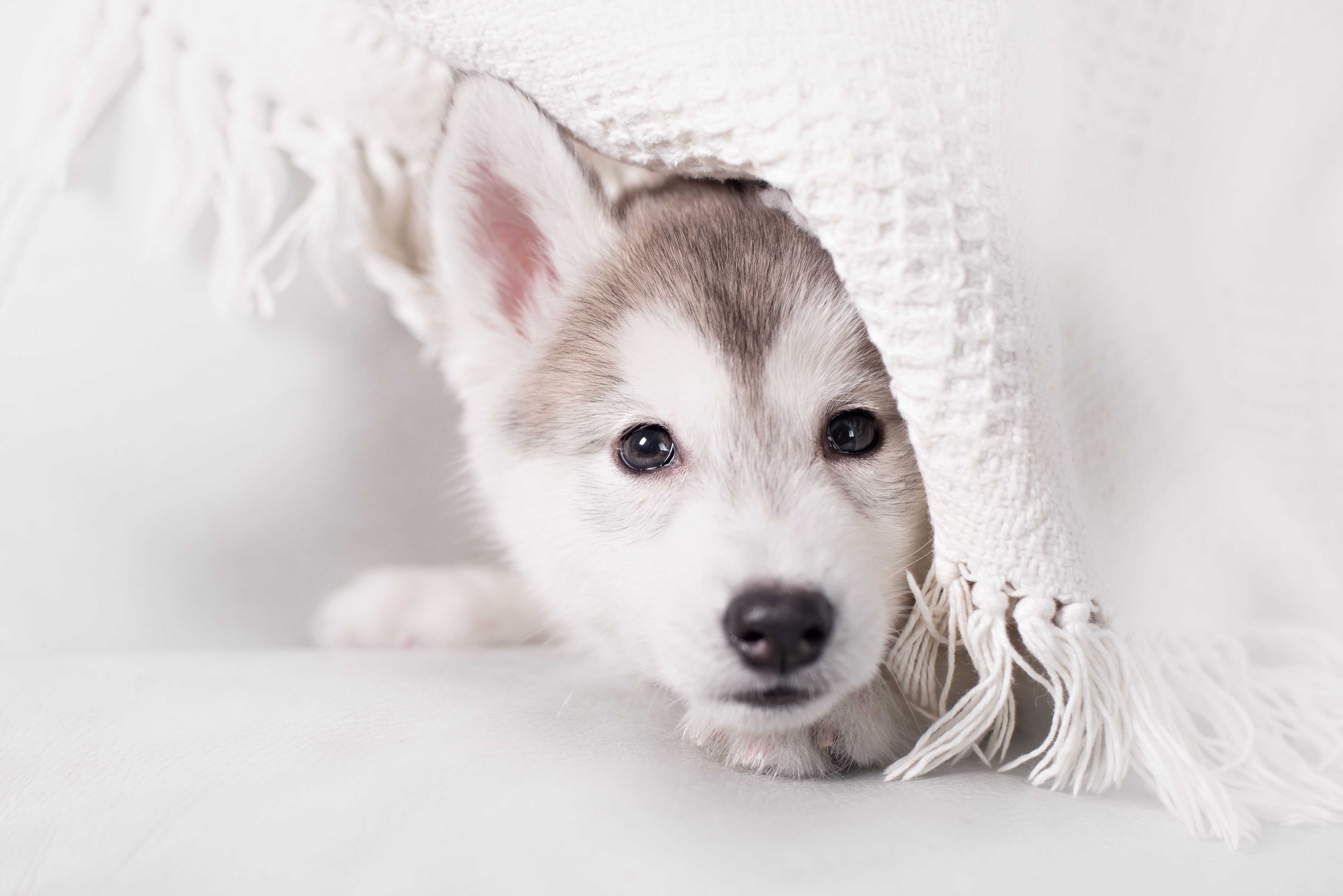 Cute puppy hiding in a blanket