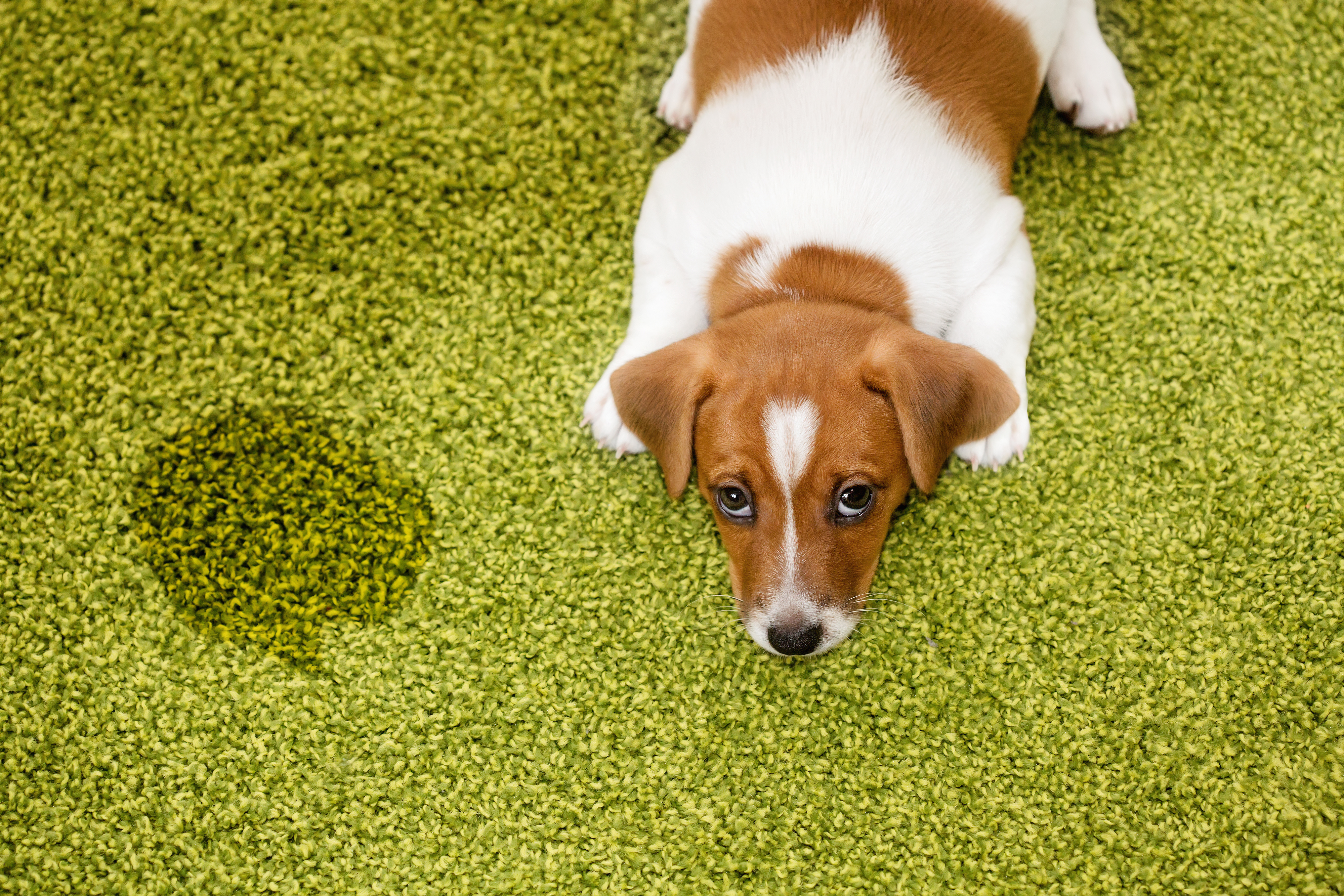 Puppy pees on the carpet