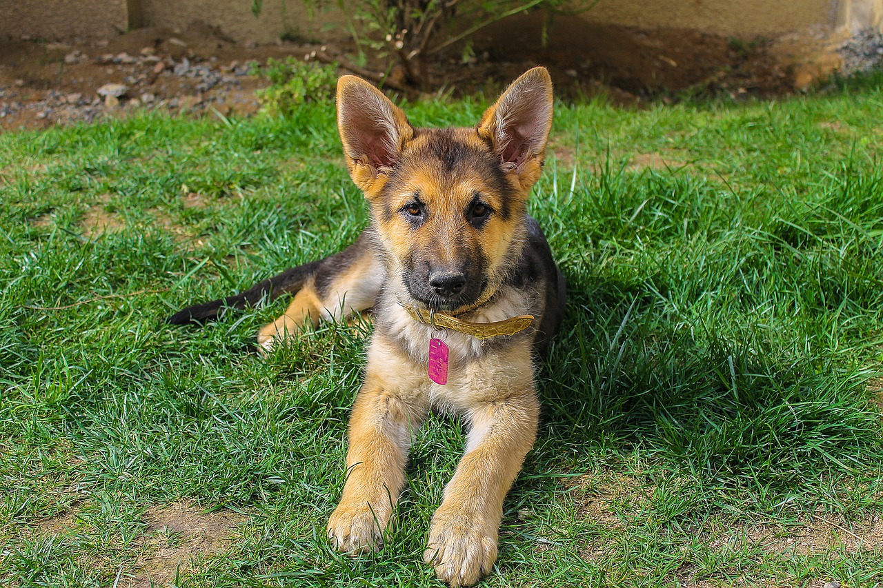 german shepherd dog showing alertness