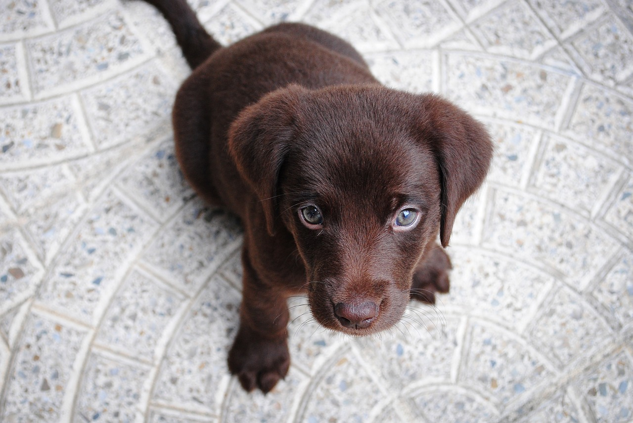 adorable brown Labrador retriever
