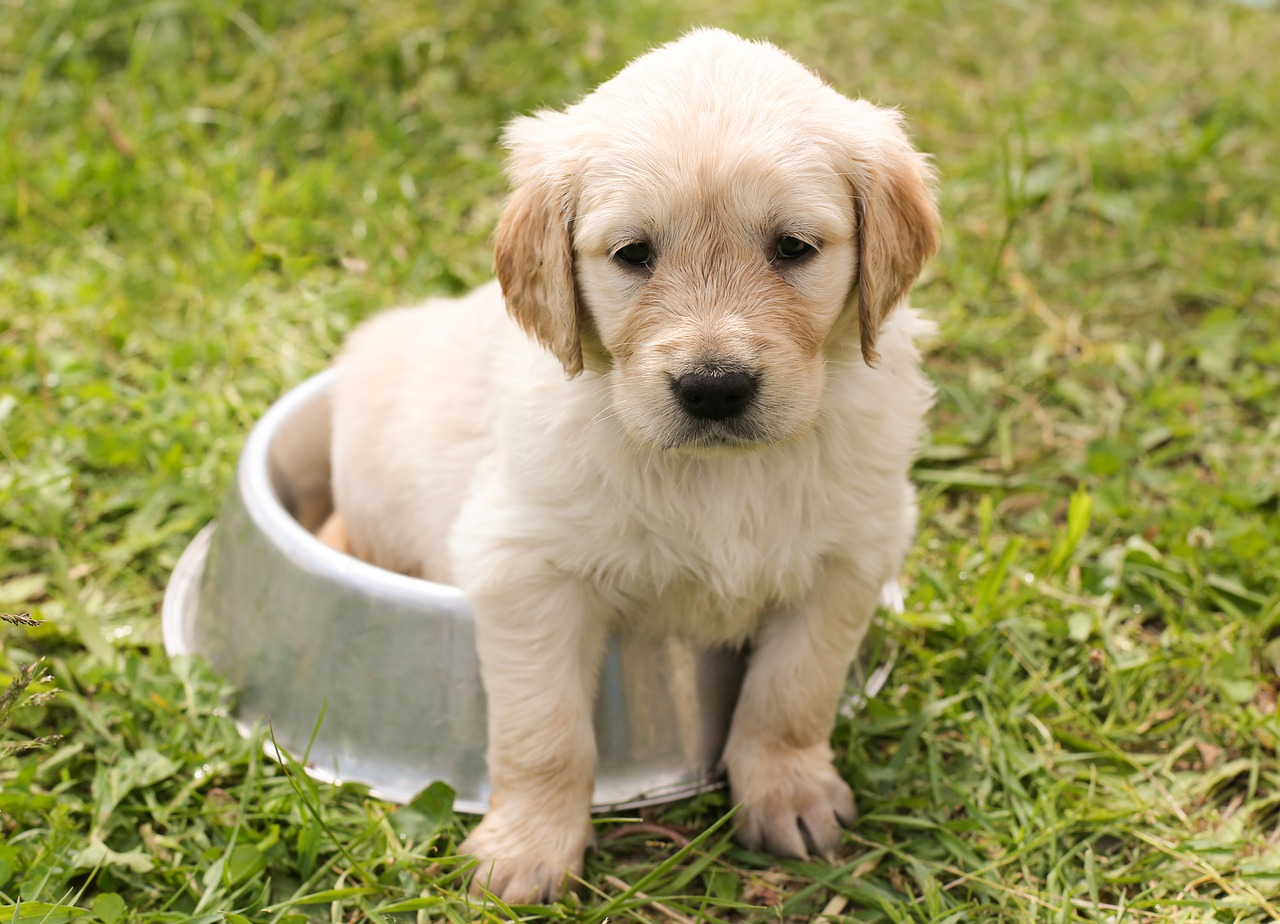 adorable Golden retriever in a dog bowl