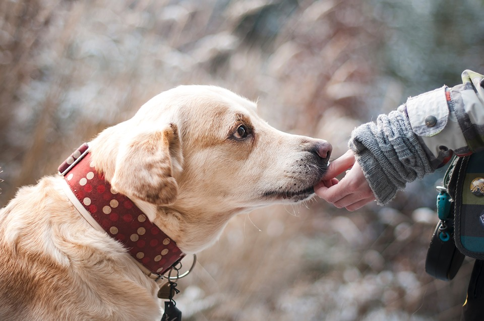 a gentle labrador with red collar licking a person's hand