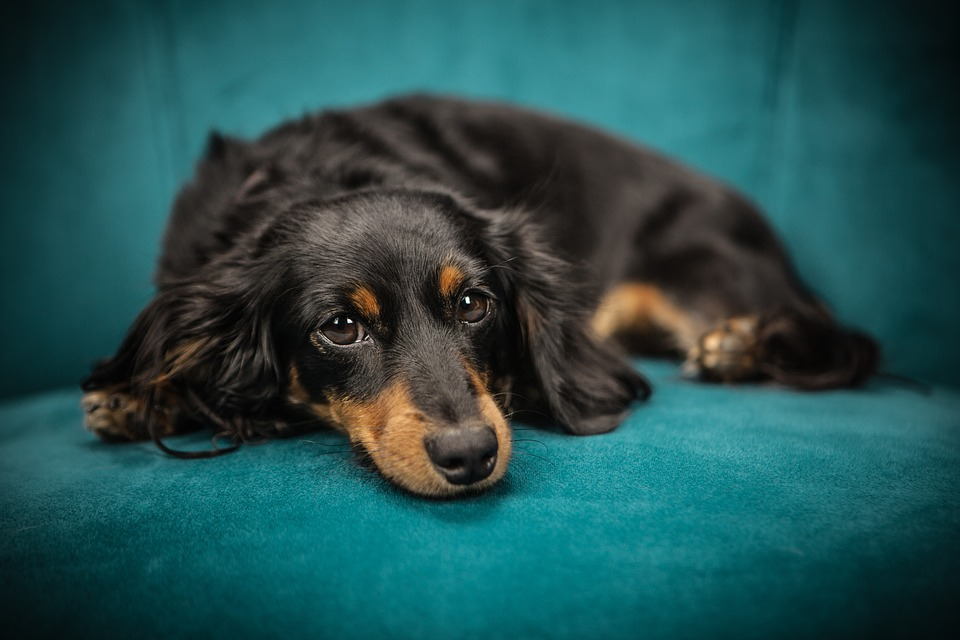 a long-haired black and red dachshund dog resting on the sofa