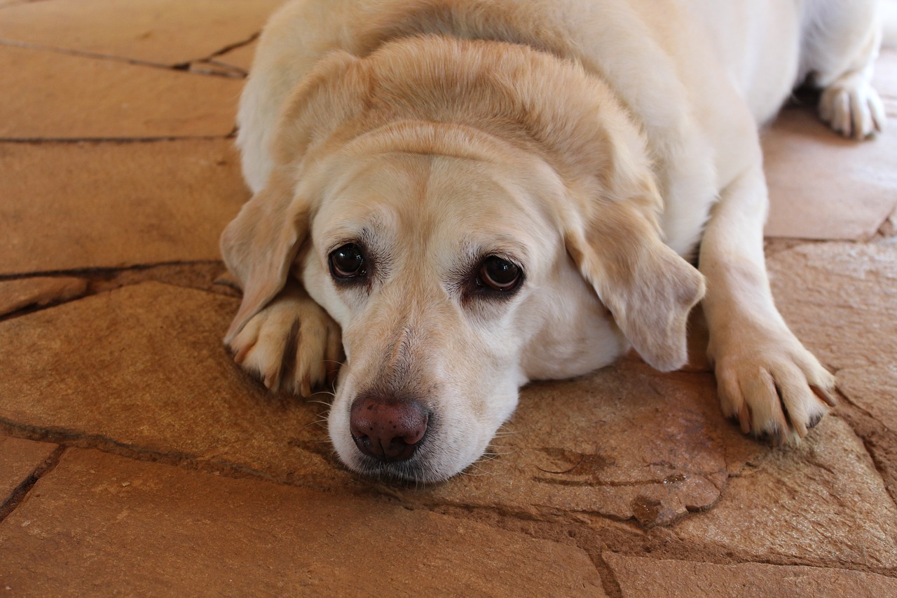 a very tired looking Labrador lying on the floor
