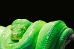 pet snake green-tree python python tree python