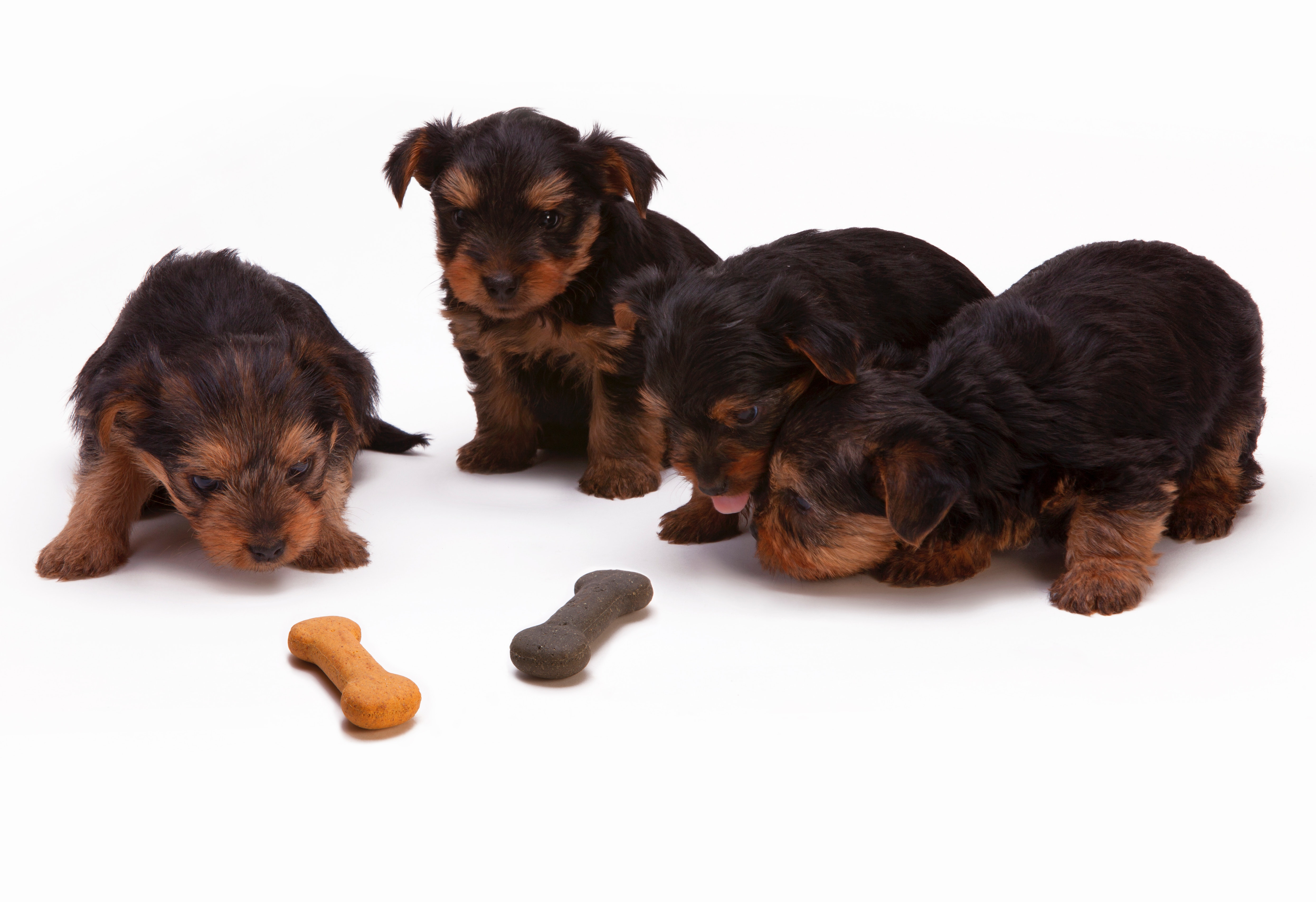 Four cute puppies smelling dry dog food