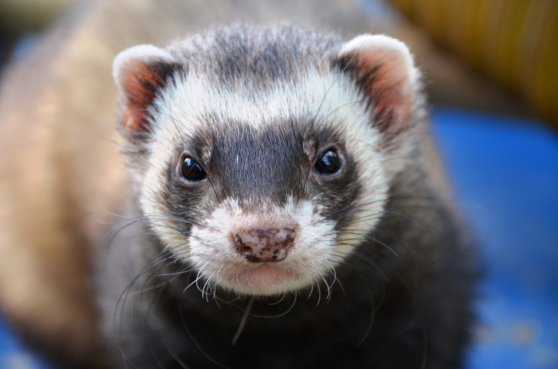 Ferret animal eyes