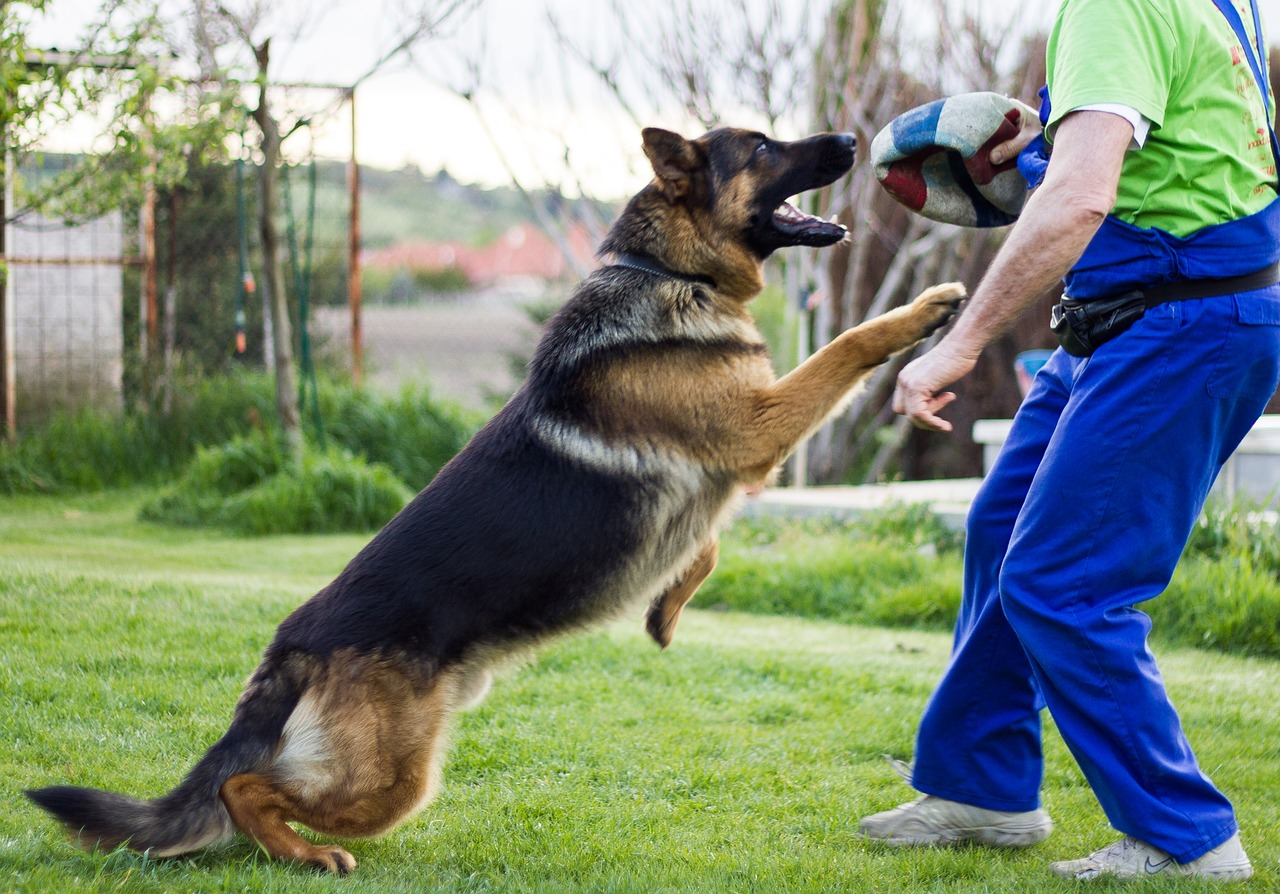 a german shepherd dog playing with his owner