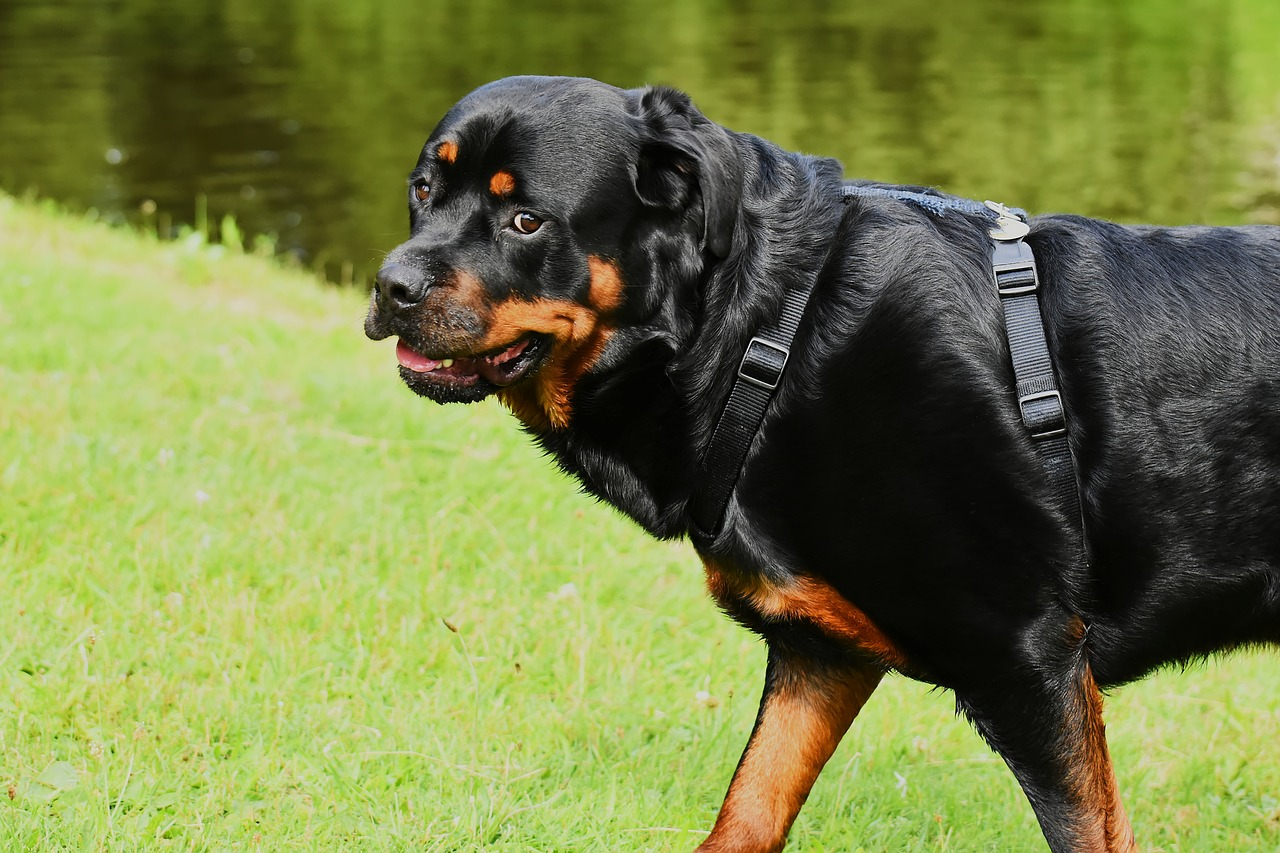 a healthy rottweiler, one of the most loyal dog breed