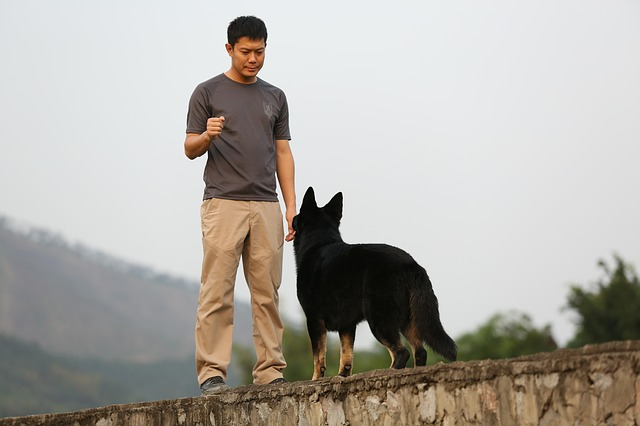 a black German Shepherd listening to his trainer