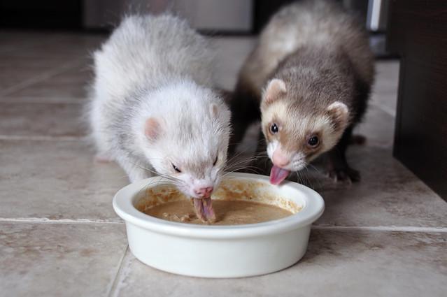 Ferrets eating
