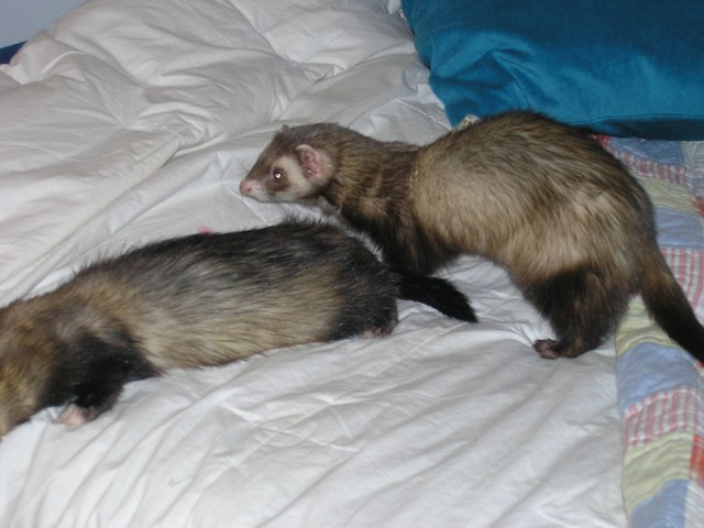 Ferrets lying in bed