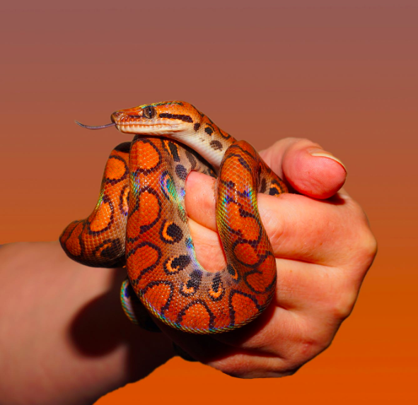 person-holding red and black snake