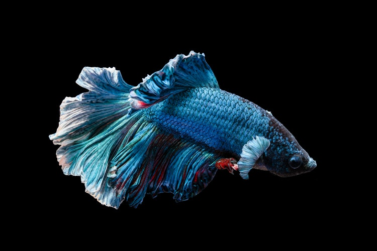 Blue betta fish on a black background