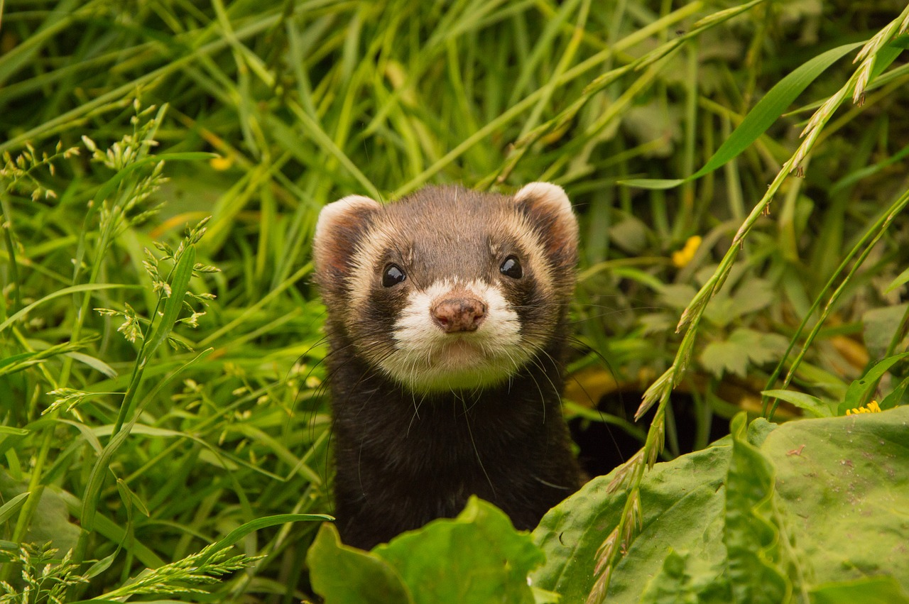 ferret animal in a grassy field