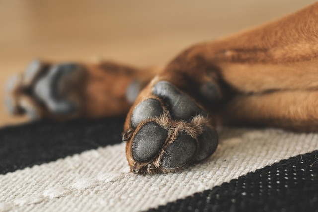 close-up photo focused on dirty paw of a dog lying on a carpet