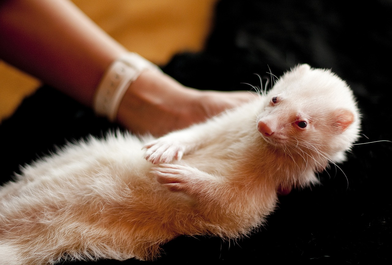 person holding a white ferret