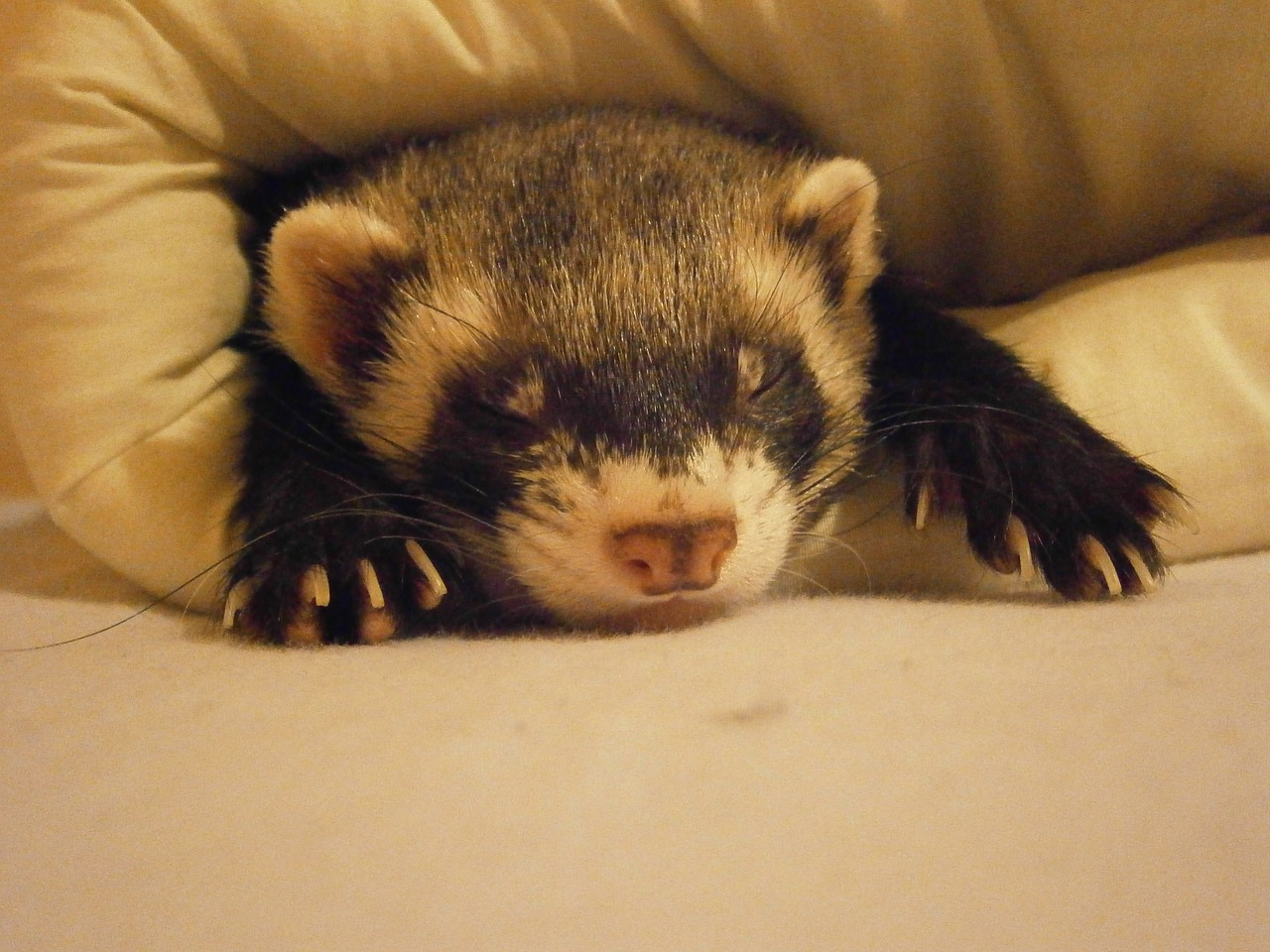 sleeping ferret covered with blanket