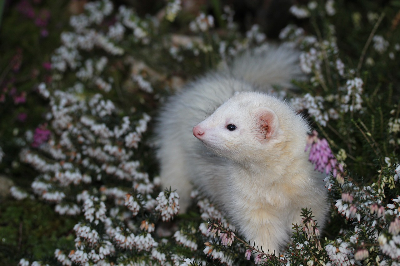white ferret in a garden
